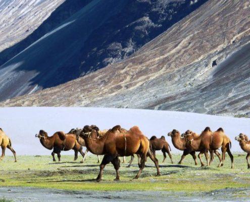 Bactrian_camels_Nubra